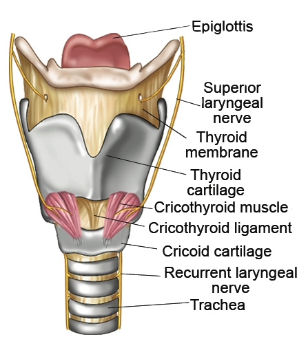 The Epi-what?-is...The Epiglottis. - BAST - Be A Singing ... Epiglottis